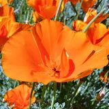 A unique golden poppy close up with golden poppies in the background. No filter. A shot of a California golden poppy taken on my cell phone, close up with no royalty free stock photography