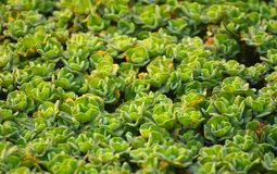 Green plants isolated natural object photograph. The unique green plants isolated object on top of a pond water background stock photograph Royalty Free Stock Images
