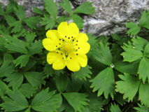 Unique Himalayan Cinquefoil with black anther. Yellow Himalayan Cinquefoil or Vajradanti is not so common as against orange. This is even more rare with black Stock Images