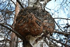 Unique huge mushroom giant chaga on a birch tree royalty free stock photos