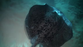 Unique huge stingray on background of clear seabed underwater of Maldives. stock video footage