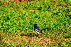 Amazing Birds of thailand. This unique image shows a beautiful Thai bird sitting in grass in the world famous city park Lumphini Park in Bangkok stock image