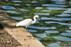 Heron of bangkok Thailand. This unique image shows a beautiful white heron at the edge of the lake hunting for fish in the Lumpini Park in Bangkok stock photos