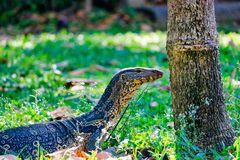 Monitor lizards in the wild in Bangkok. This unique image shows the highly dangerous big komodo dragons in the famous lumpini city park in Bangkok stock photography