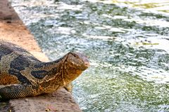 Monitor lizards in the wild in Bangkok. This unique image shows the highly dangerous big komodo dragons in the famous lumpini city park in Bangkok stock image