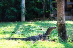 Monitor lizards in the wild in Bangkok. This unique image shows the highly dangerous big komodo dragons in the famous lumpini city park in Bangkok royalty free stock photos