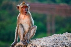 This unique image shows the wild monkeys at dusk on the Monkey Rock in Hua Hin in Thailand stock image