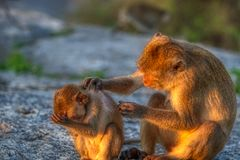 This unique image shows the wild monkeys at dusk on the Monkey Rock in Hua Hin in Thailand. This unique image shows wild monkeys in the open air in the evening stock images