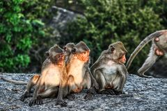 Funny Monkeys from Hua Hin Thailand. This unique image shows wild monkeys in the open air in the evening on a rock in Hua Hin Thailand royalty free stock photos