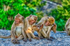 Funny Monkeys from Hua Hin Thailand. This unique image shows wild monkeys in the open air in the evening on a rock in Hua Hin Thailand royalty free stock image