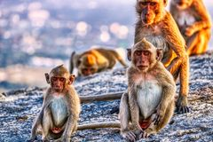 This unique image shows the wild monkeys at dusk on the Monkey Rock in Hua Hin in Thailand. This unique image shows wild monkeys in the open air in the evening stock photo
