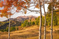Autumn golden sunrise aspens glowing in the Wasatch Back, Utah USA. Royalty Free Stock Photo
