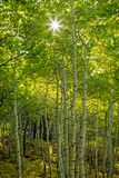 Dramatic autumn green sunrise aspens glowing in the Wasatch Back, Utah USA. Royalty Free Stock Images