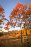 Dramatic autumn vertical sunrise aspens glowing in the Wasatch Back, Utah USA. Stock Photo