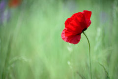 Unique lone red flower in green field. Unique lone red flower, thin and fragile, with delicate petals, in green field Royalty Free Stock Photo