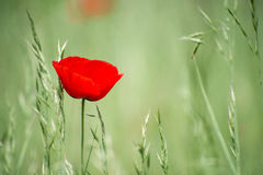 Unique lone red flower in green field. Unique lone red flower, thin and fragile, with delicate petals, in green field Stock Image