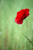Unique lone red flower in green field. Unique lone red flower, thin and fragile, with delicate petals, in green field Stock Images