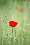 Unique lone red flower in green field. Unique lone red flower, thin and fragile, with delicate petals, in green field Royalty Free Stock Photos