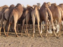 Camels, from behind stock photography