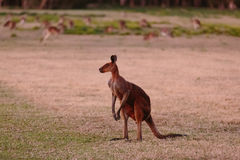 Unique looking kangaroo at twilight Royalty Free Stock Images