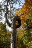 Unique loop curved pine. Autumn. Slovenia. Triglav national park Stock Images