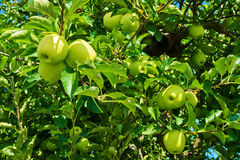 Unique Among Many Apples. Branches of green apples near harvest season in southern Michigan Stock Photo
