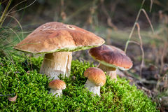 Unique noble mushrooms on moss in forest Royalty Free Stock Photography