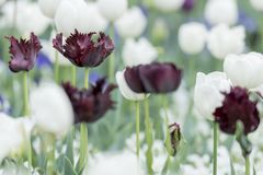 Unique Parrot Tulips with white tulips royalty free stock images