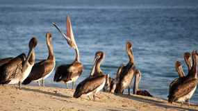 Unique Pelican Royalty Free Stock Photos
