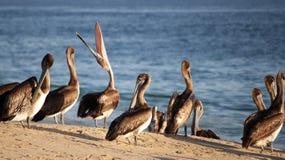 Unique Pelican Royalty Free Stock Photos