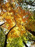 Unique VIEW OF A TREE IN FALL. An unique perspective capturing pictures of trees from the bottom up royalty free stock photo