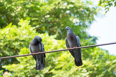 Unique perspectives pigeon on the electric wire with green tree background in the park Stock Photography