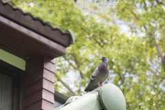 Unique perspectives pigeon is standing on the roof of house with blurry green tree in background.  Royalty Free Stock Photo