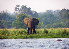 Wild elephant & hippo Nile river Uganda Africa. A unique photograph of two of Africas most loved creatures of its wildlife, the beautiful African elephant Stock Image