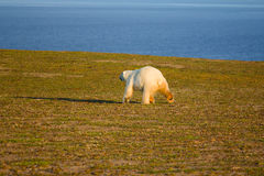 Unique picture: polar bear - sympagic species - on Stock Photography