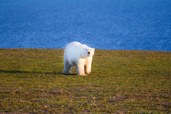 Unique picture: polar bear - sympagic species - on land in polar day period. Novaya Zemlya archipelago, South island Royalty Free Stock Photography