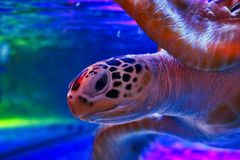 Water Turtle in The Sea life aquarium in Bangkok royalty free stock images
