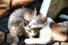 A street cat couple in Bangkok. This unique picture shows a cat couple living on the street in Bangkok. These two cats are best friends and are very nice royalty free stock photo