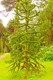 Unique Pine Tree in Formal Garden Royalty Free Stock Photos
