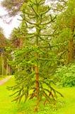 Unique Pine Tree in Formal Garden Royalty Free Stock Photos