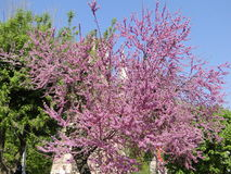 Unique Pink Flower Tree. With green trees Royalty Free Stock Images
