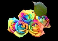 Unique rainbow roses. Unique and very special rainbow colorful roses,isolated in black and clipping path Stock Image