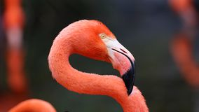 Unique red flamingo in a lake, high definition photo of this wonderful avian in south america. Flamingos in water fishing royalty free stock images