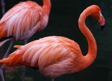 Unique red flamingo in a lake, high definition photo of this wonderful avian in south america. Flamingos in water fishing stock image