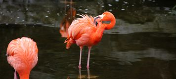 Unique red flamingo in a lake, high definition photo of this wonderful avian in south america. Flamingos in water fishing stock photos