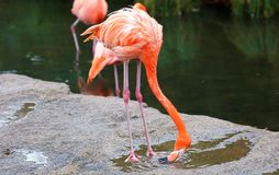 Unique red flamingo in a lake, high definition photo of this wonderful avian in south america. Flamingos in water fishing stock photo