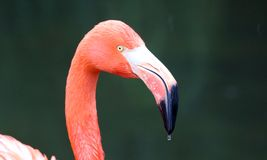 Unique red flamingo in a lake, high definition photo of this wonderful avian in south america. Flamingos in water fishing stock photography