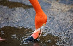 Unique red flamingo in a lake, high definition photo of this wonderful avian in south america. Flamingos in water fishing royalty free stock photos