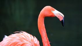 Unique red flamingo in a lake, high definition photo of this wonderful avian in south america. Flamingos in water fishing royalty free stock photography