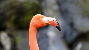 Unique red flamingo in a lake, high definition photo of this wonderful avian in south america. stock photo